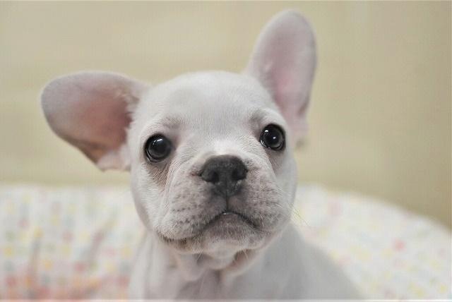 すぐにご紹介できる子犬です。