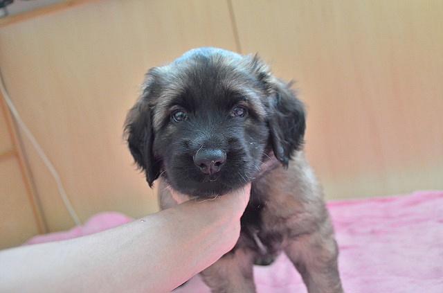 レオンベルガーの子犬生まれました!